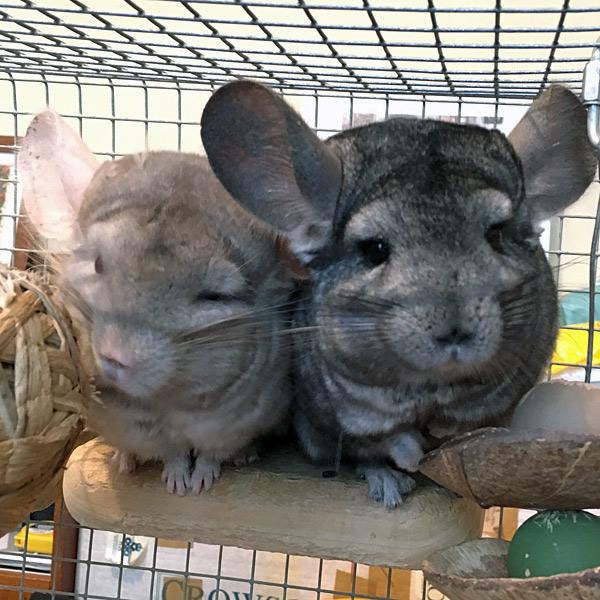 nicolette's chinchillas